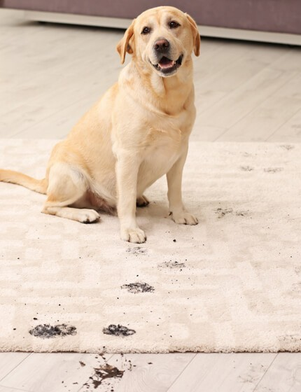 Dog stain on rug cleaning | Great Lakes Carpet & Tile